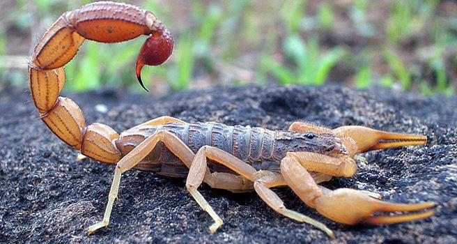 Akrep ve yılan sokmalarına karşı 'kuru' antiserum geliyor