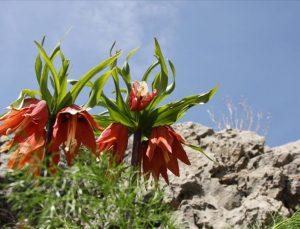 Ters laleler Sakız Dağı'nda görsel şölen sundu