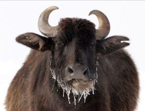 ABD'de 400 bizonu öldürecek gönüllüler aranıyor