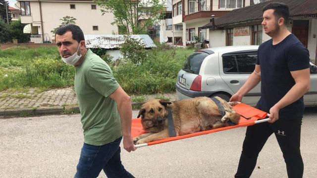 Yaralı köpeği sedyeyle veterinere taşıdılar