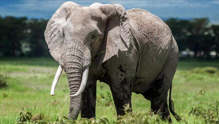 Vefalı fil! Ölen bakıcısını son kez görmek için kilometrelerce yürüdü