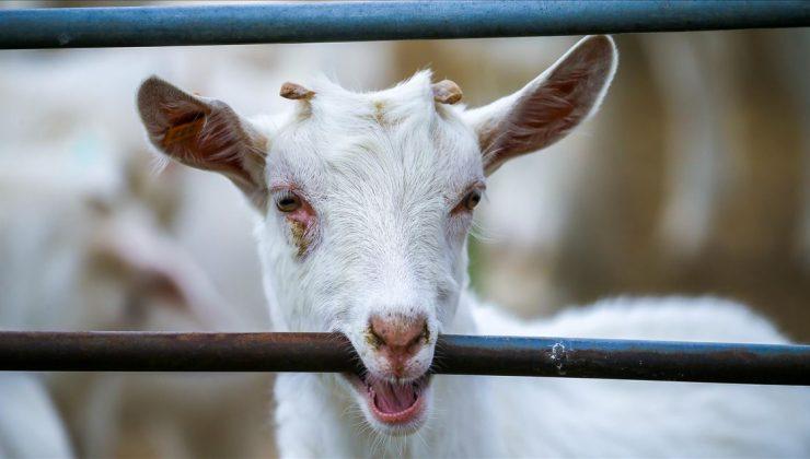 ABD'de hayvancılığın umudu keçi besiciliği