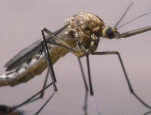 İstanbul'da 62 yıl sonra yine sinek avı