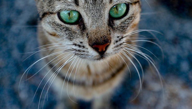 Barınak kedilerinin renkli gözleri: Sahiplendirilmeyi bekliyorlar