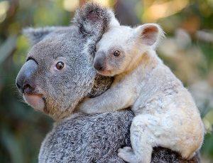 Avustralya'da koala nüfusu tehdit altında